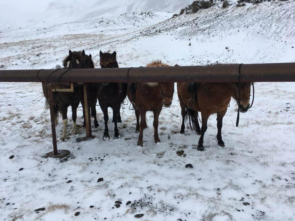 heste ridning på islandske heste